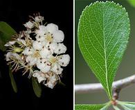 Crataegus berberifolia