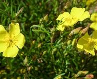 Crocanthemum aldersonii