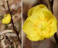 Crocanthemum glomeratum