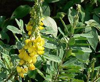 Crotalaria spectabilis