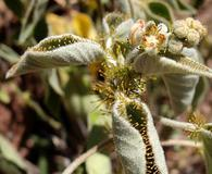 Croton ciliatoglandulifer