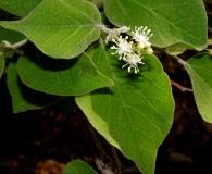 Croton flavescens