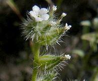 Cryptantha echinella