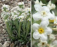 Cryptantha flavoculata