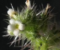 Cryptantha microstachys