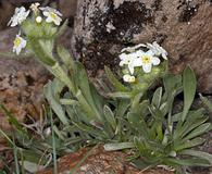 Cryptantha nubigena