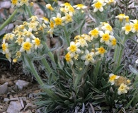 Cryptantha paysonii