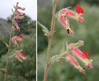 Cuphea hookeriana