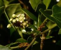 Cynanchum racemosum