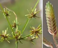 Cyperus ochraceus