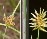 Cyperus retroflexus