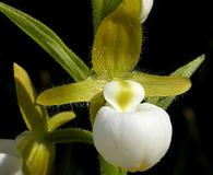 Cypripedium californicum