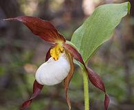 Cypripedium montanum