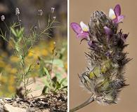 Dalea filiformis
