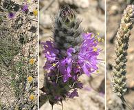 Dalea tenuifolia