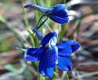 Delphinium bicolor