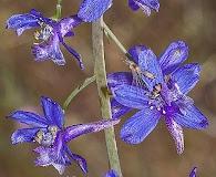 Delphinium umbraculorum