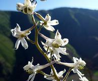 Delphinium xantholeucum