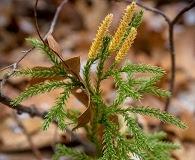 Dendrolycopodium hickeyi