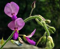 Desmodium canescens