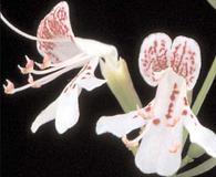 Dicerandra frutescens