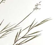 Dichanthelium filiramum