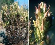 Dicranostegia orcuttiana