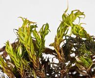 Didymodon vinealis