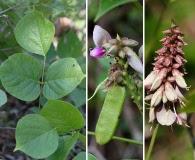 Dioclea multiflora