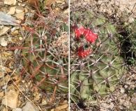 Echinocactus texensis