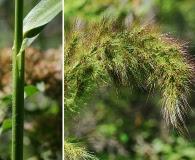 Echinochloa walteri