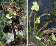 Echinodorus berteroi