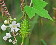 Echinopepon wrightii