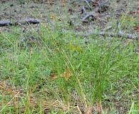 Eleocharis tricostata