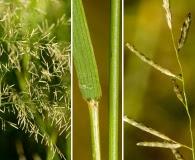 Eragrostis lehmanniana