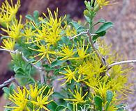 Ericameria cuneata