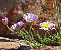 Erigeron arenarioides