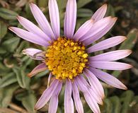 Erigeron pygmaeus