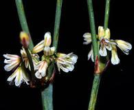 Eriogonum baileyi