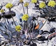 Eriogonum crosbyae