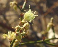 Eriogonum deserticola