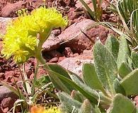 Eriogonum flavum