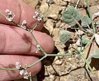 Eriogonum rotundifolium