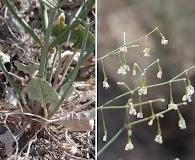 Eriogonum watsonii