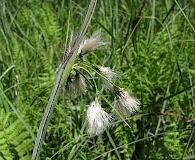 Eriophorum viridicarinatum