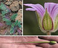 Erodium botrys