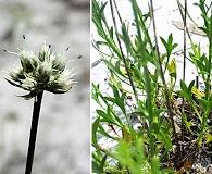 Eryngium cuneifolium