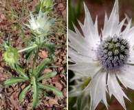 Eryngium lemmonii