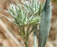 Eryngium petiolatum