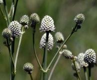 Eryngium sparganophyllum